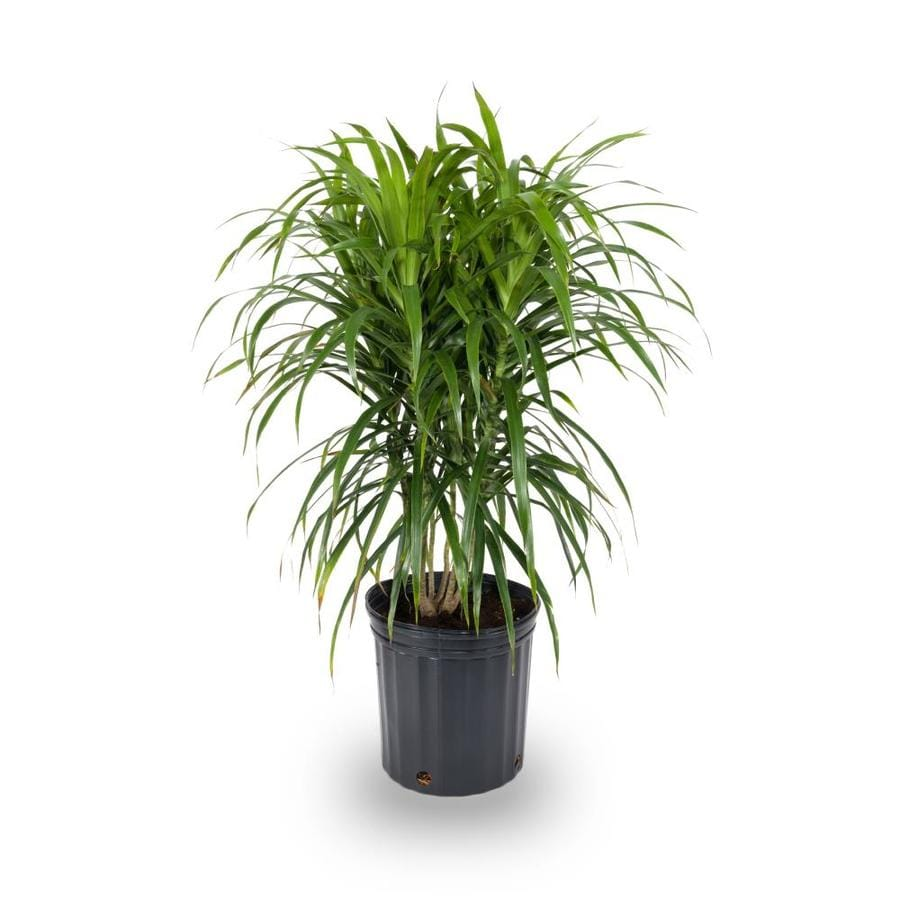 2-Gallon Spike Dracaena (L17139)