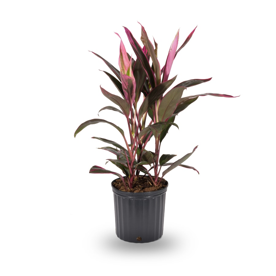 2.5-Quart Cordyline (L10001hp)