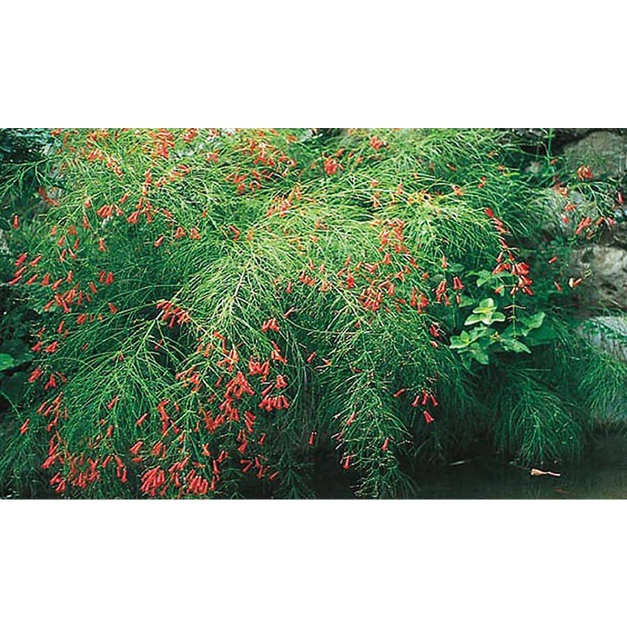 2.25-Gallon Firecracker Plant (L9173)