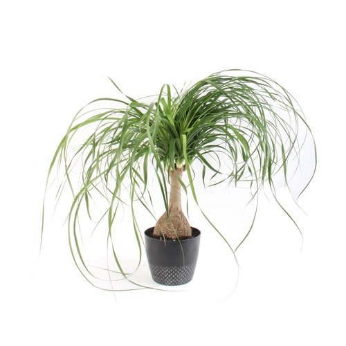 Plants of Steel 1.9-Quart Ponytail Palm in Plastic Pot (L20967hp) at on palm leaf chickee, palm bamboo, palm pattern, palm border, palm vector, palm beetle, palm flowers, palm drawing, palm shrubs, palm bonsai, palm tr, palm seeds, palm christmas, palm shoot, palm trees, palm diagram, palm leaf cut out, palm chamaedorea seifrizii, palm roses, palm rats,
