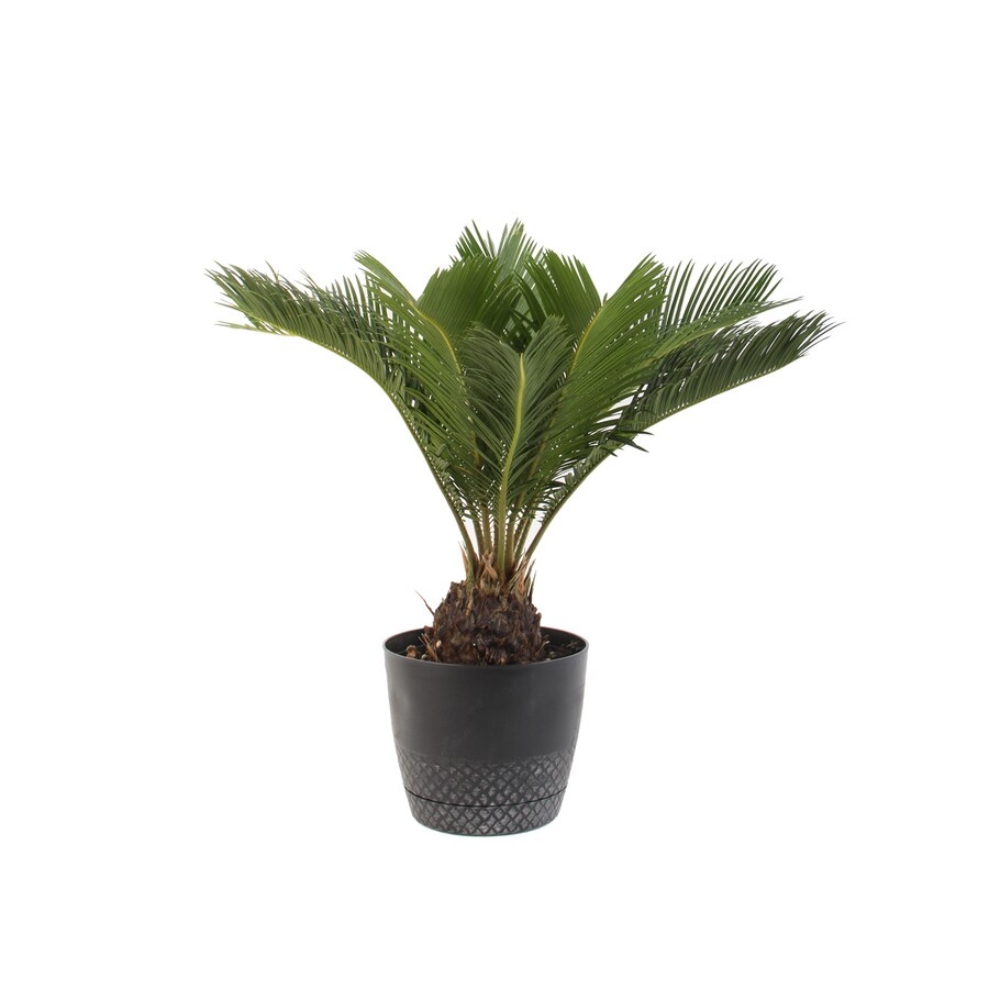 Plants of Steel .9-Quart(S) Sago palm Pot (L2969HP)