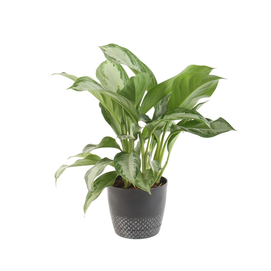 Shop Plants Of Steel 9 Quart S Chinese Evergreen Potted