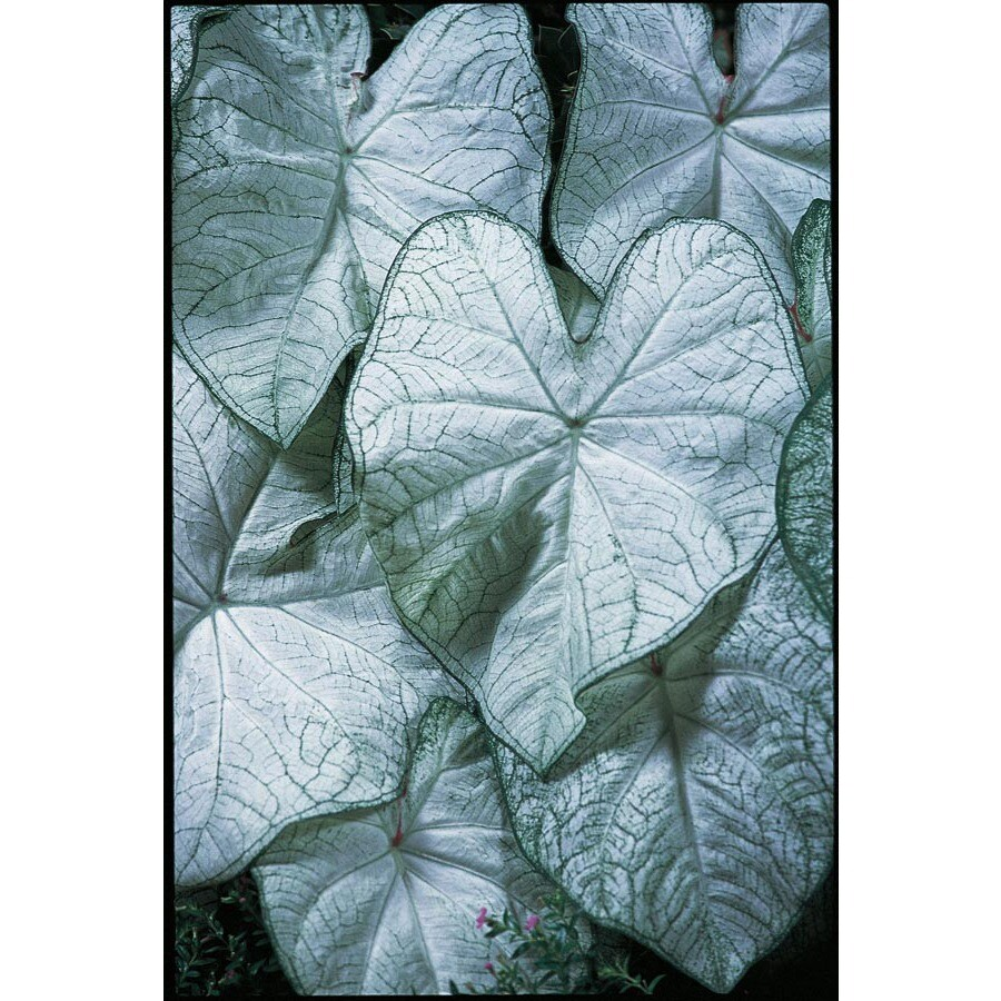 1-Gallon Moonlight Caladium (L22396)