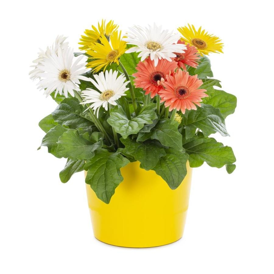 3-Quart Gerbera Daisy (L3114)