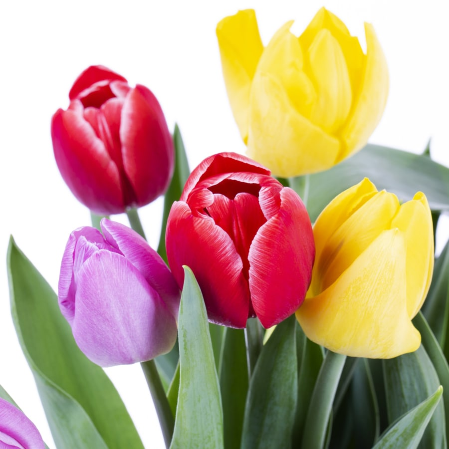 1.25-Quart Tulip (L21437hp)