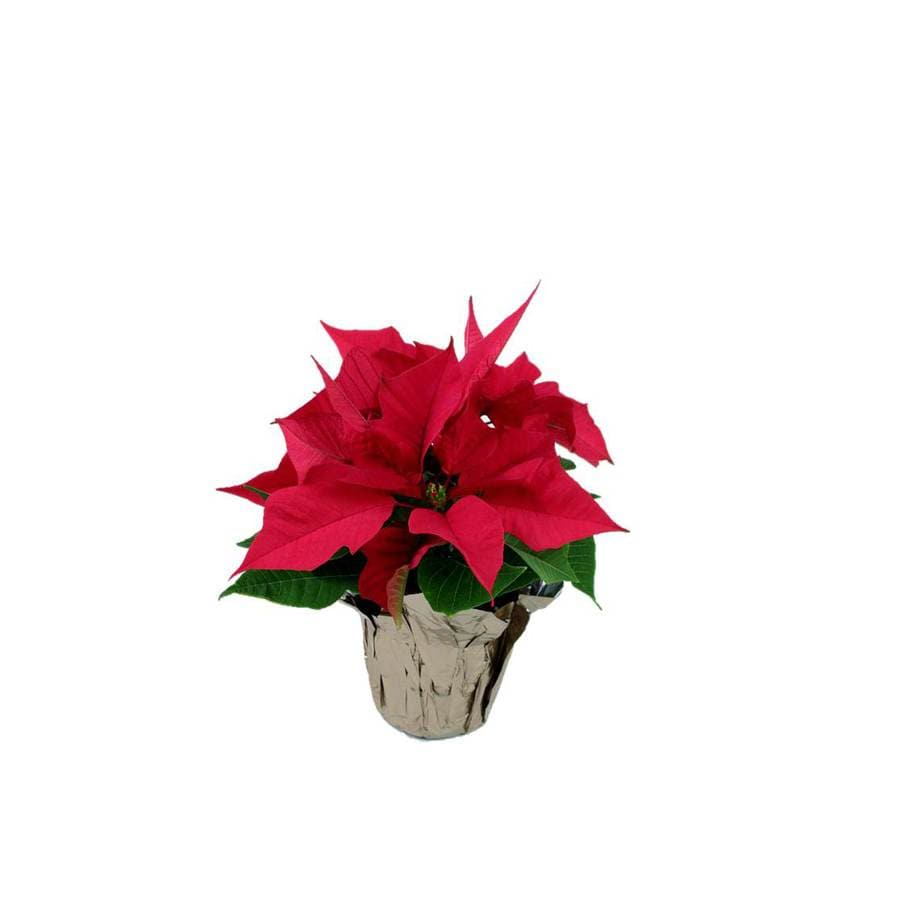 Shop 36 In Poinsettia In Plastic Pot L22289 At Lowes