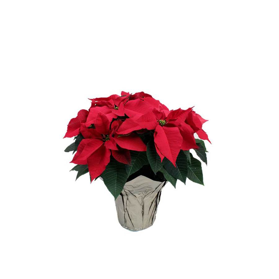 Poinsettia (L22289)