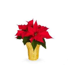 1-Quart Red Poinsettia in Pot (L22289hp)