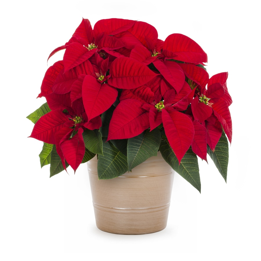 Poinsettia Temporary (L22289)
