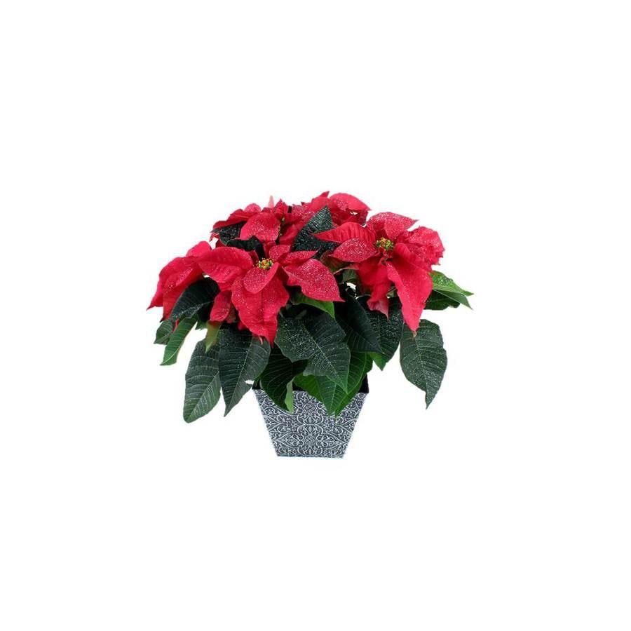 Poinsettia Temporary (L22289)