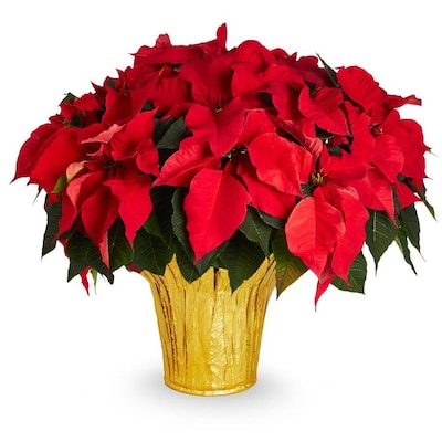 3 5 Quart Red Poinsettia In Pot L17756hp At Lowes Com
