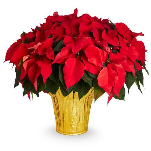 3 5 Quart Red Poinsettia In Pot L17756hp In The Annuals Department At Lowes Com