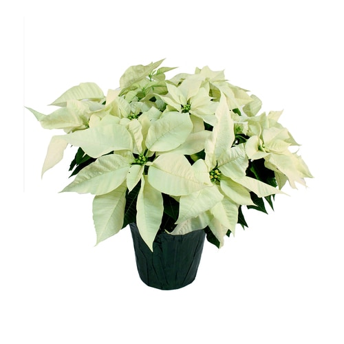 3 5 Quart White Poinsettia In Pot L17756hp In The Annuals Department At Lowes Com