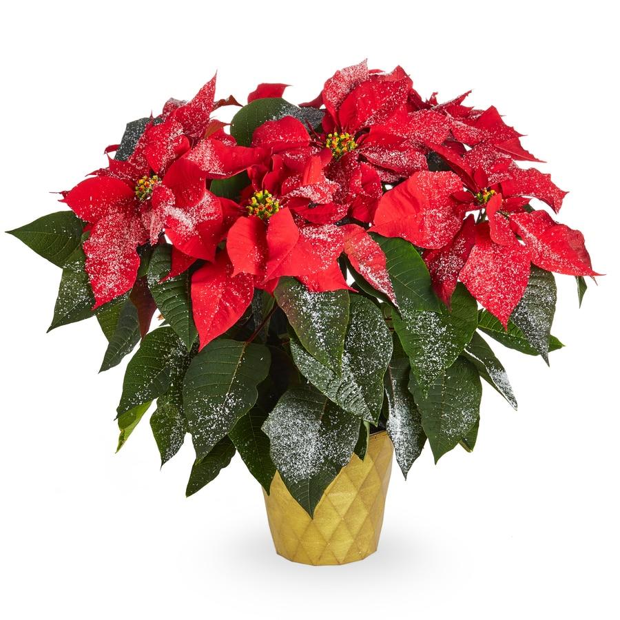 2-Quart Red Poinsettia (L17756Hp)