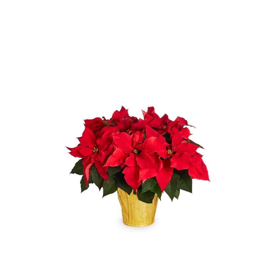 2-Quart Poinsettia (L17756HP)