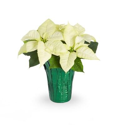 2 Quart White Poinsettia In Pot L17756hp At Lowes Com