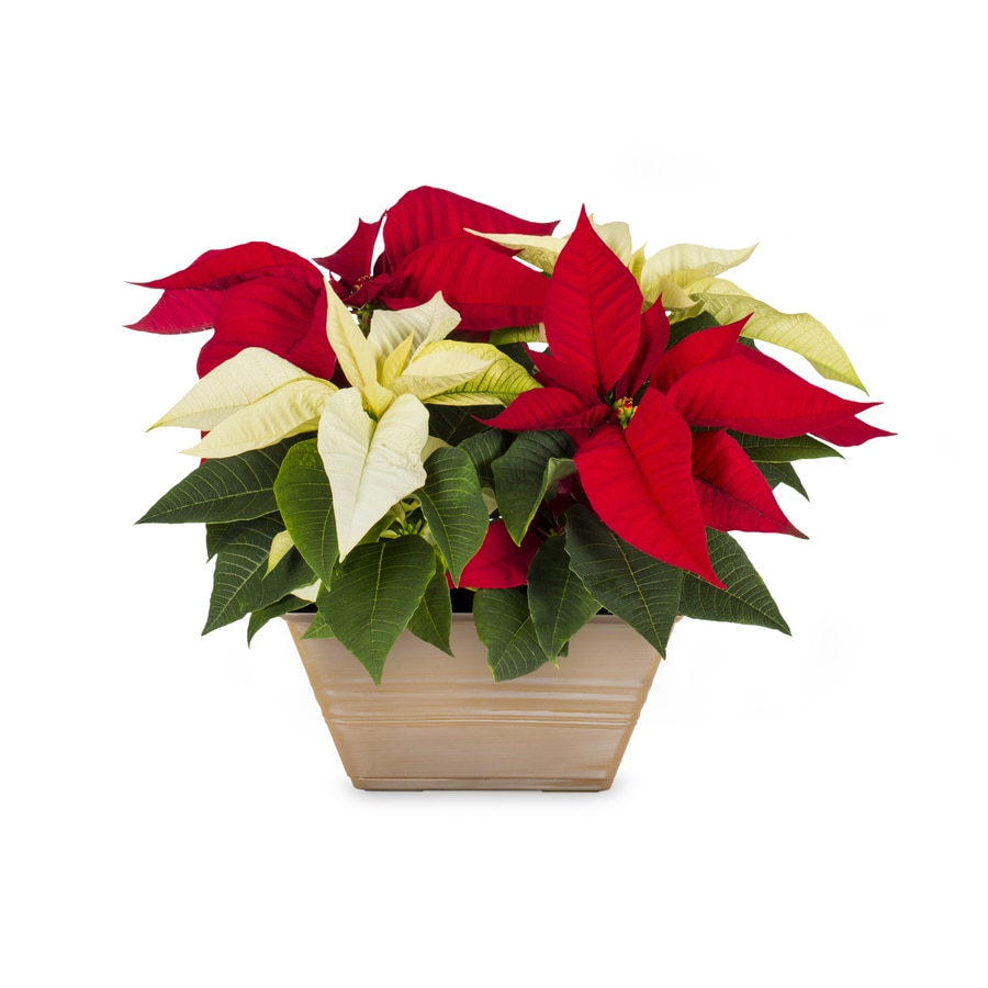 1-Gallon Poinsettia (L17756hp)