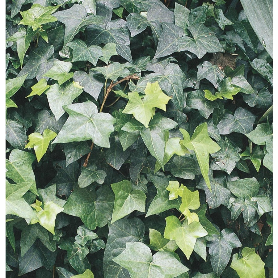 1/2 FLAT IVY GROUNDCOVER