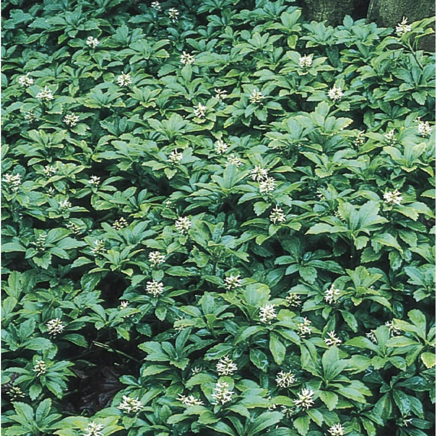 1/2 FLAT PACHYSANDRA GROUNDCOVER