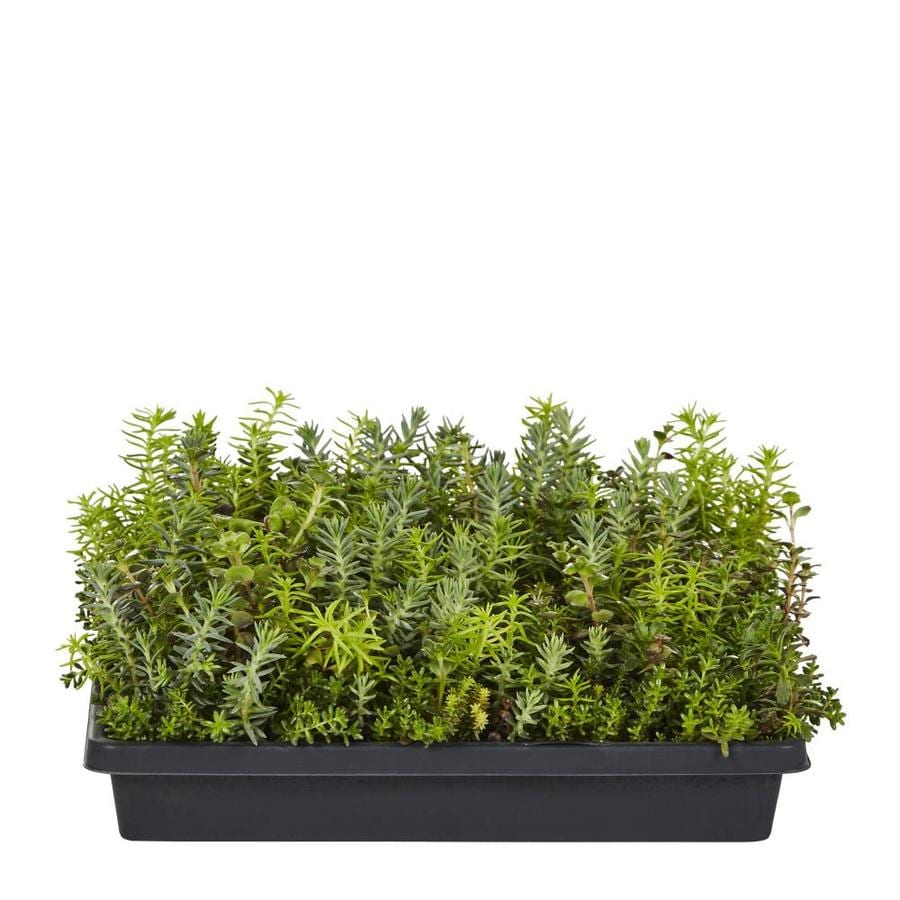 Shop Stonecrop Tray Lw01452 At Lowes Com