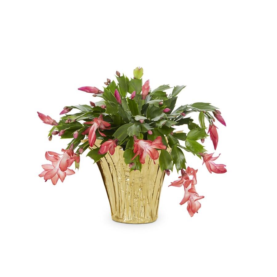 11-Ounce Christmas Cactus (L22289)