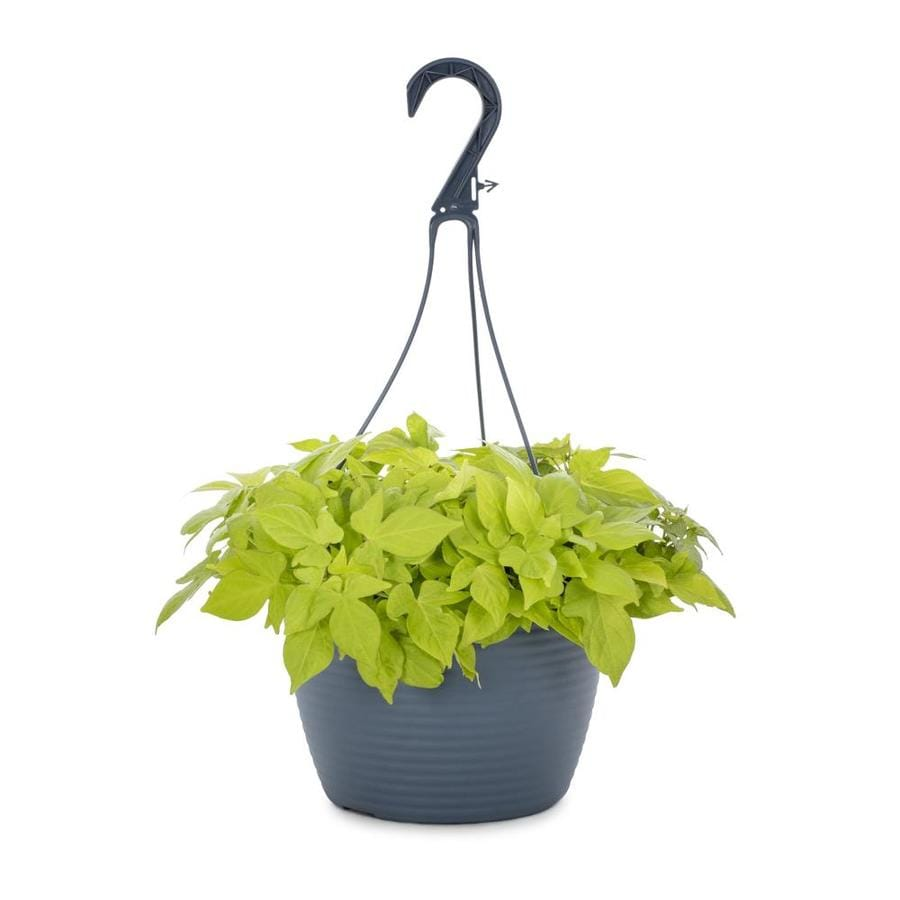 1.5-Gallon Sweet Potato Vine (L9884)