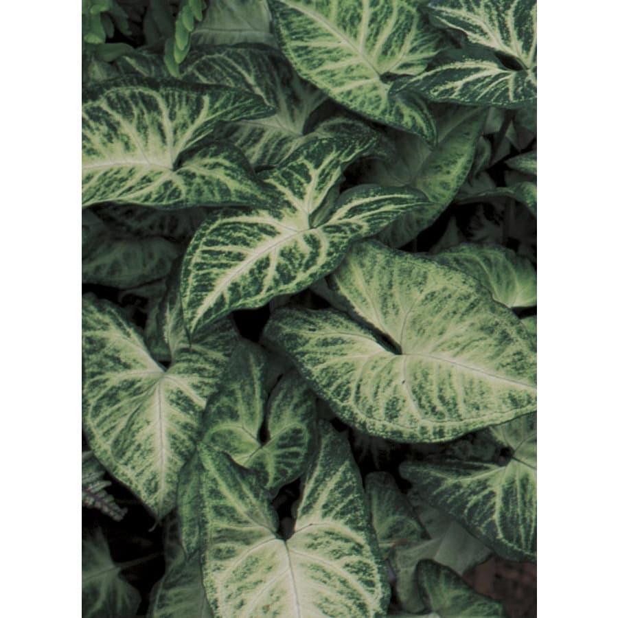 1.5-Gallon Arrowhead Plant (LW01508)