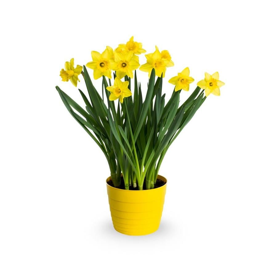 3-Quart Tulip (L17334)