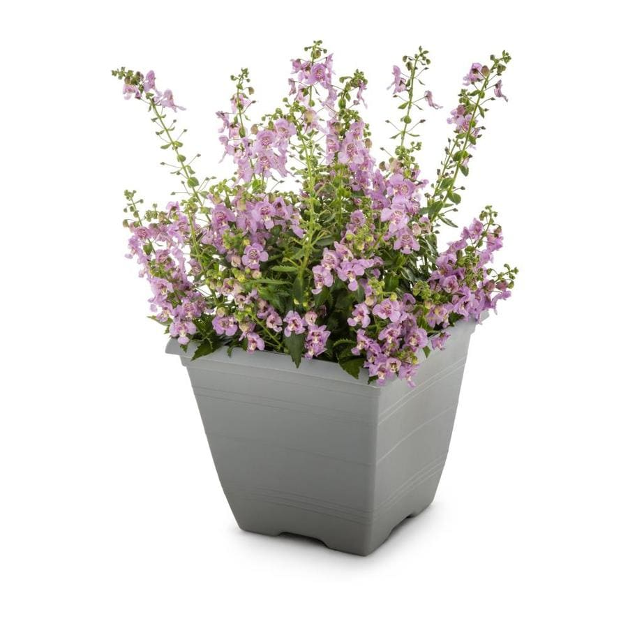 1-Gallon Angelonia (L10016)