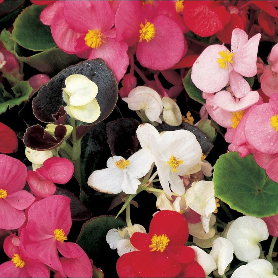 3-Quart Begonia (L6589)