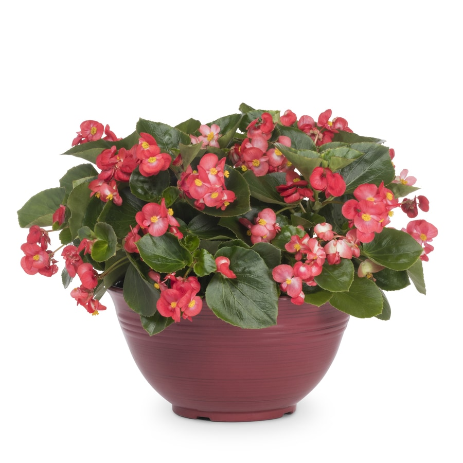 4-Gallon Begonia (L6589)