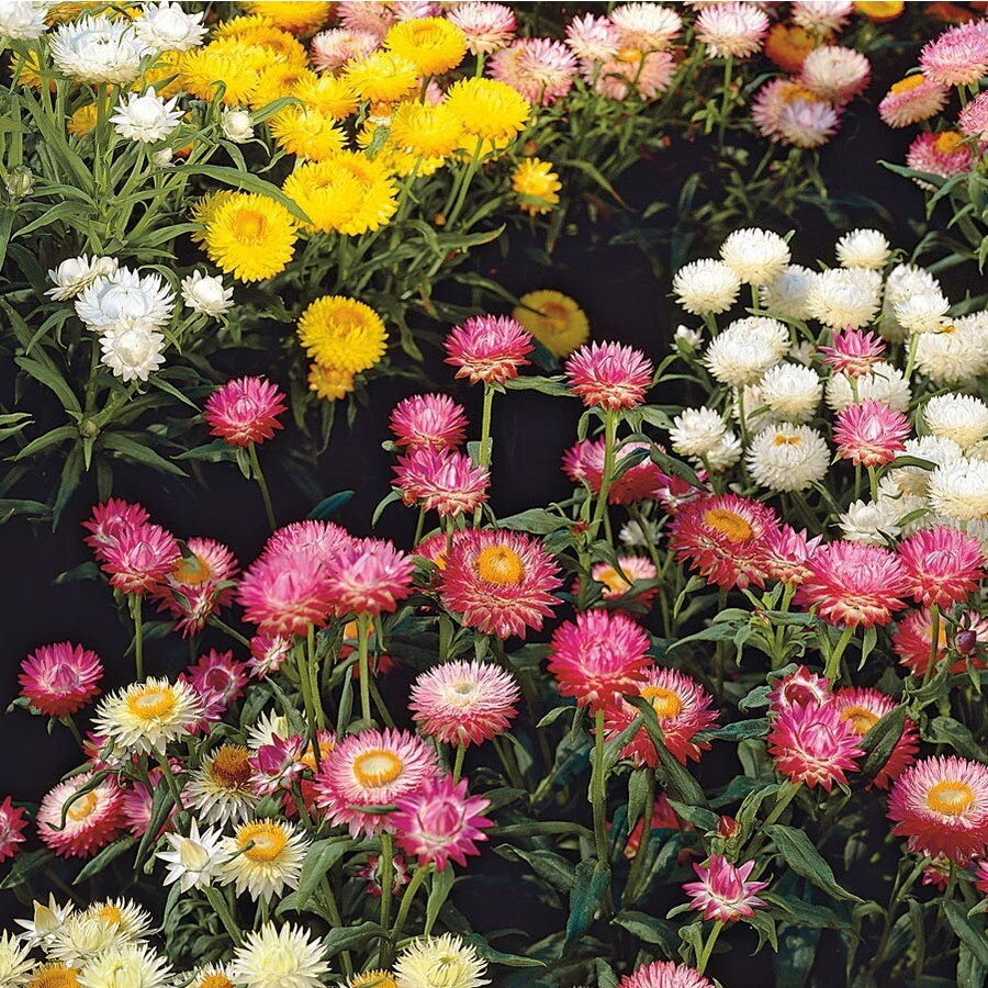 2-Gallon Strawflower