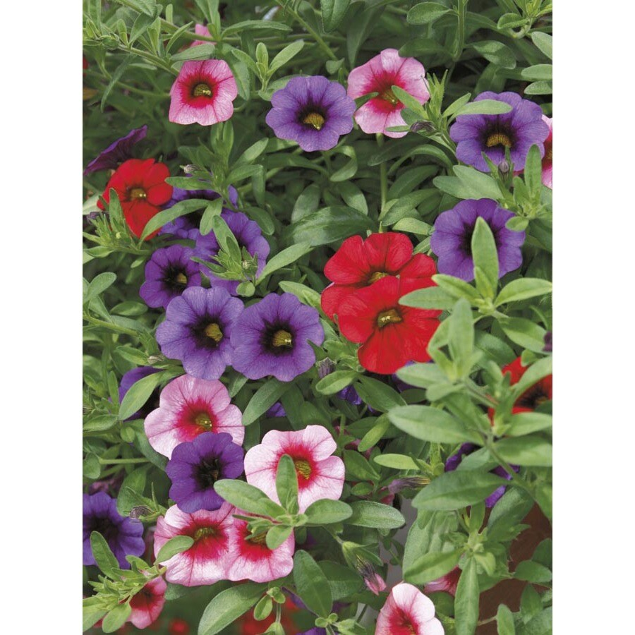 1.5-Gallon Calibrachoa (L17603)