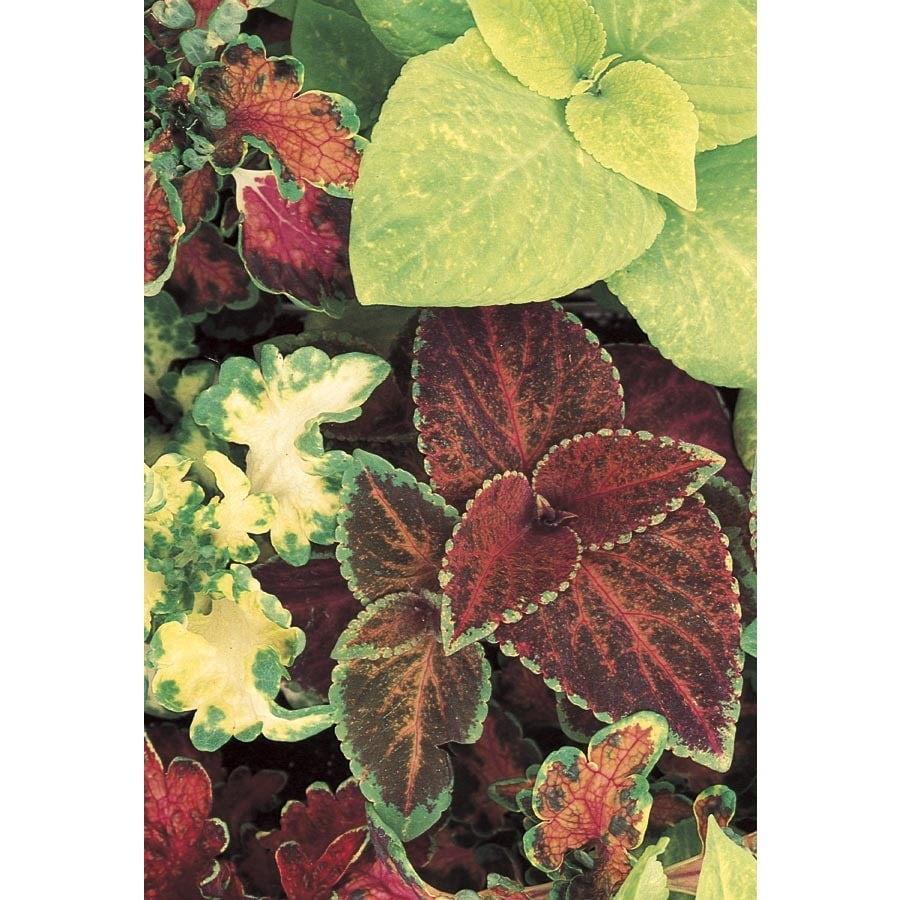 3-Gallon Coleus (L2567)