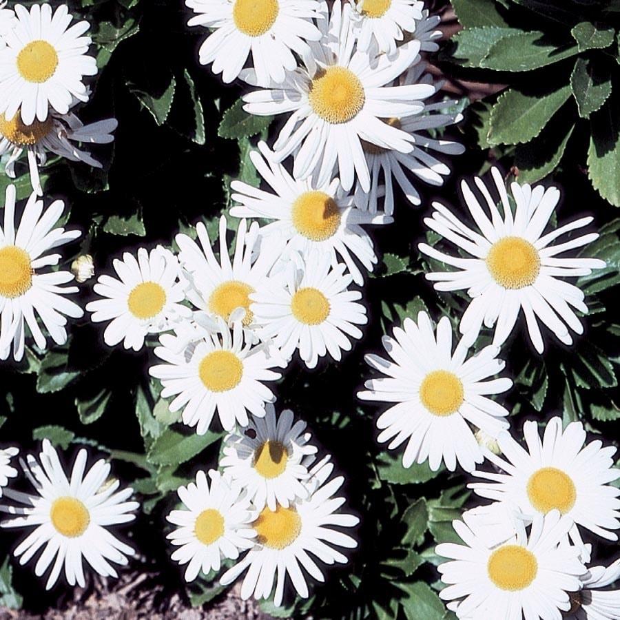 1-Quart Montauk Daisy (L9638)