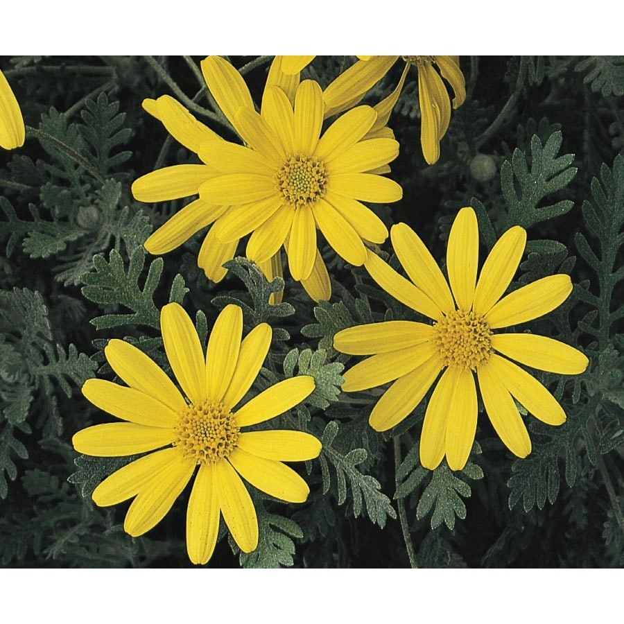 1-Gallon Bush Daisy (L10442)