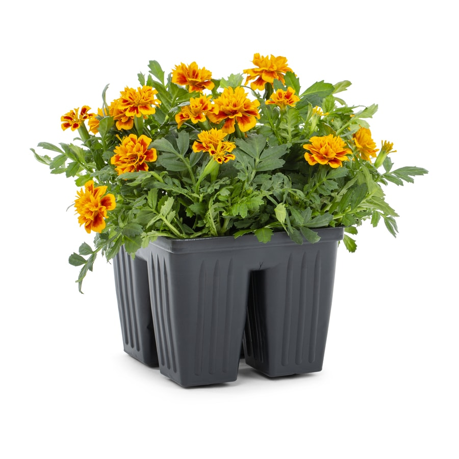 4-Pack French Marigold (Dwarf) (L17086)