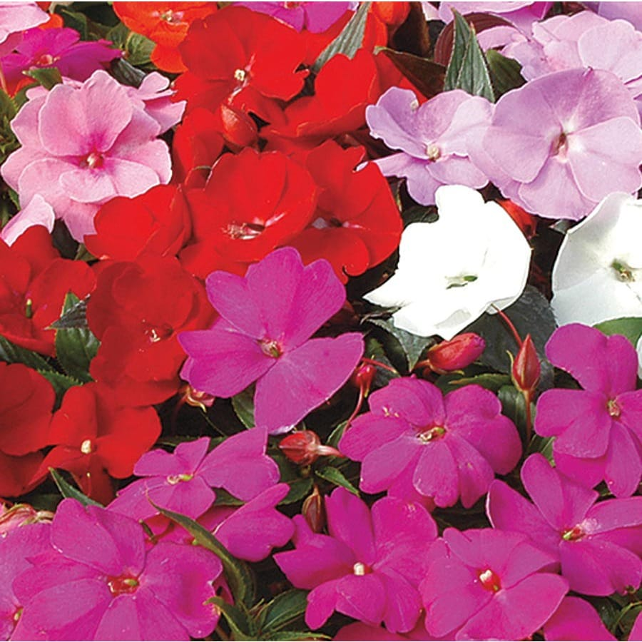 2-Gallon Hanging Basket New Guinea Impatiens (L3080)