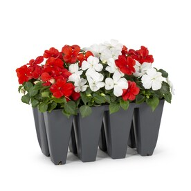 12-Pack Multicolor Impatiens in Tray (L6587)