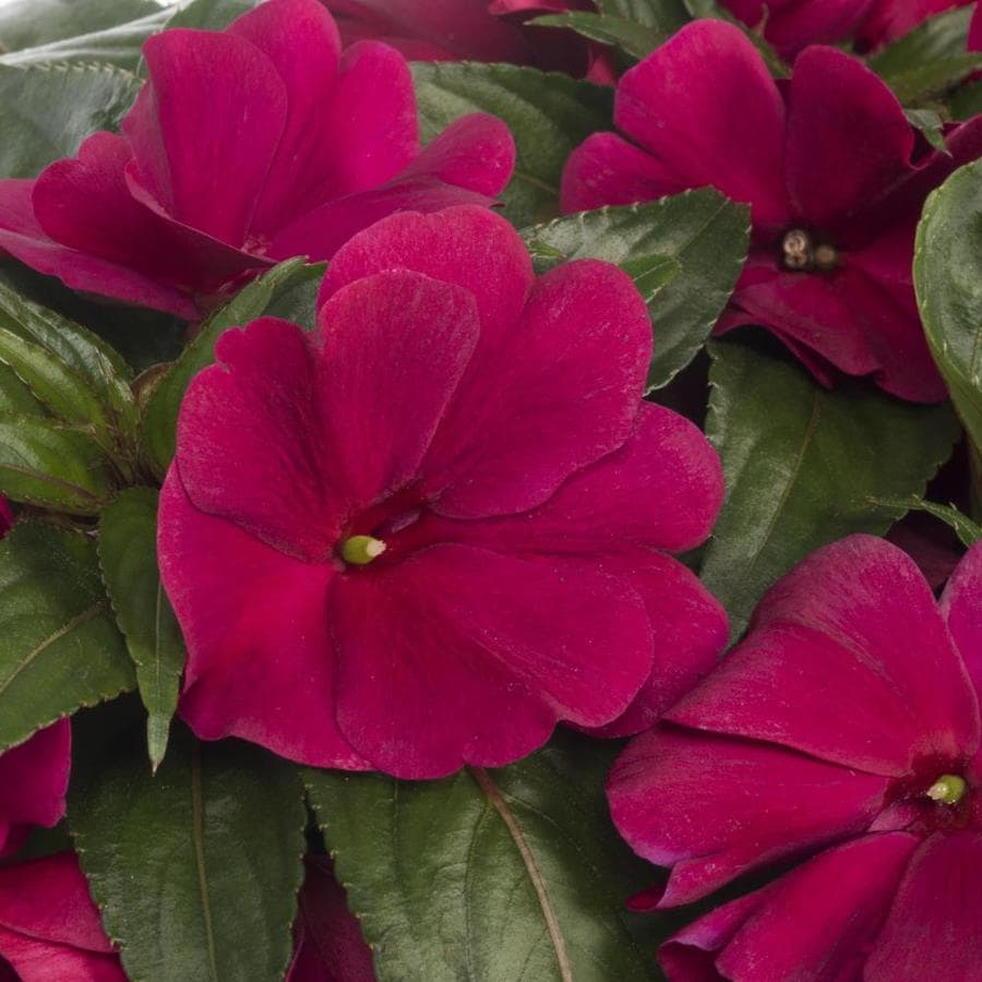 Monrovia 2.5-Quart New Guinea Impatiens (L3080)