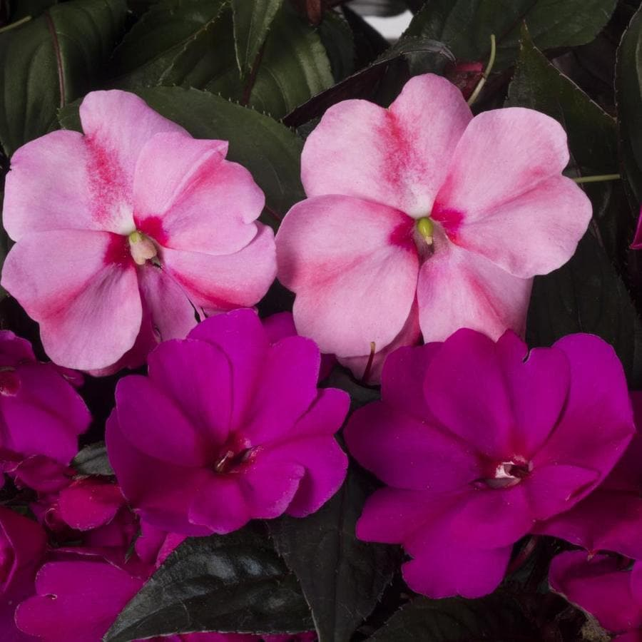 2-Gallon New Guinea Impatiens (L3080)