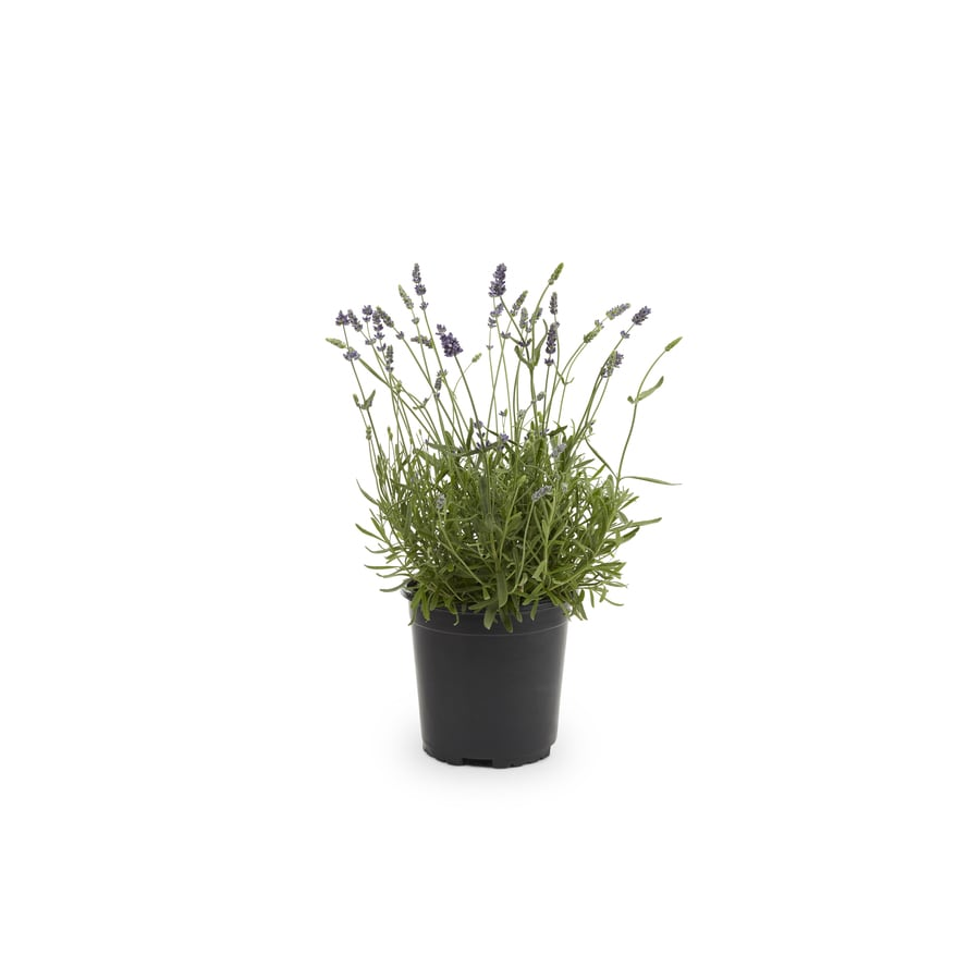 2-Gallon English Lavender (L6071)