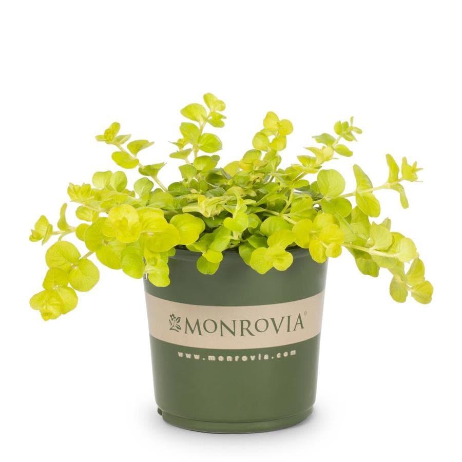 Monrovia 1-Pint Creeping Jenny Pot (L2652)
