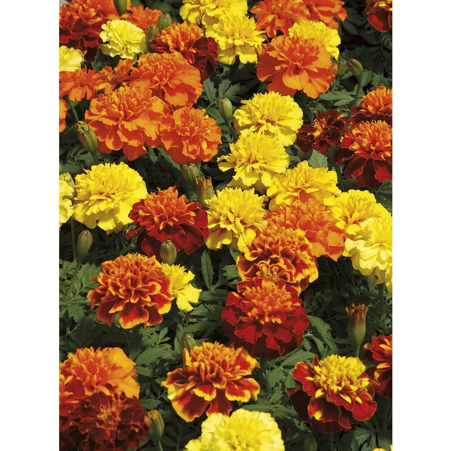12-pack French Marigold (Dwarf) (L17086)