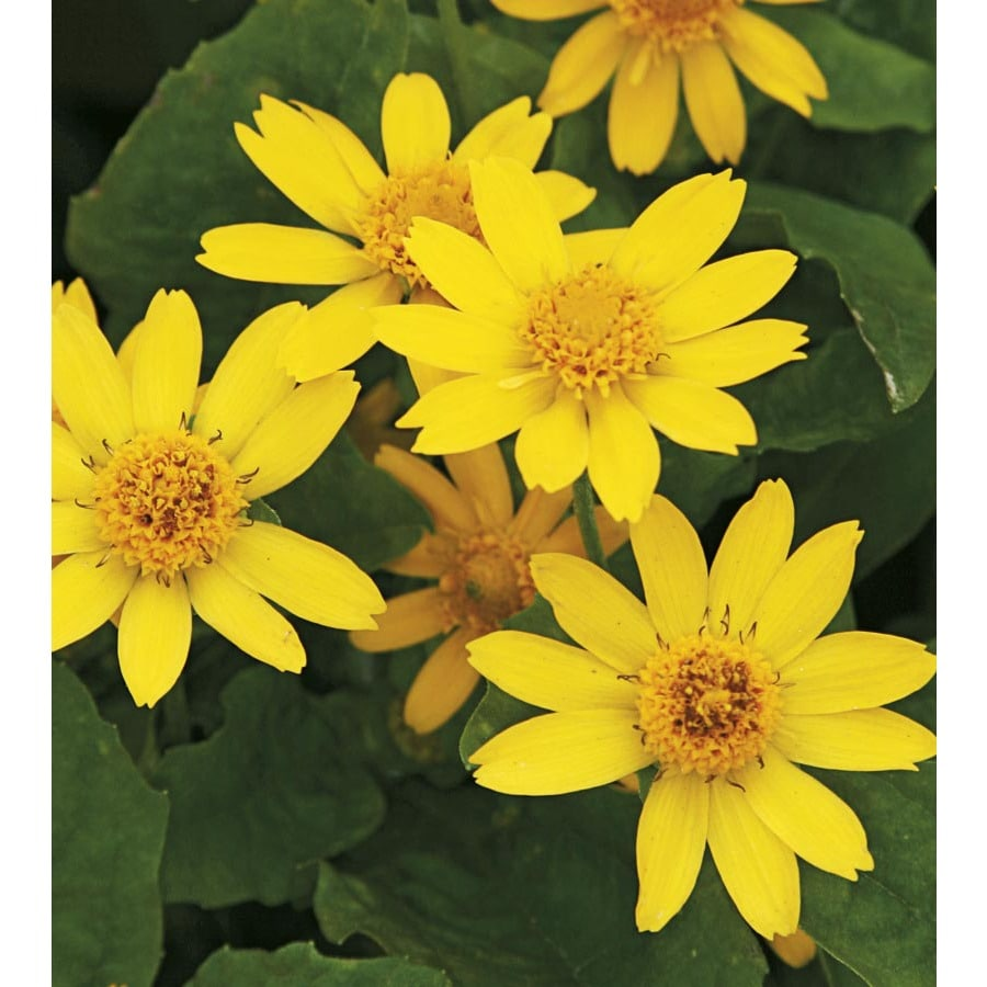 3-Quart Butter Daisy (L9167)