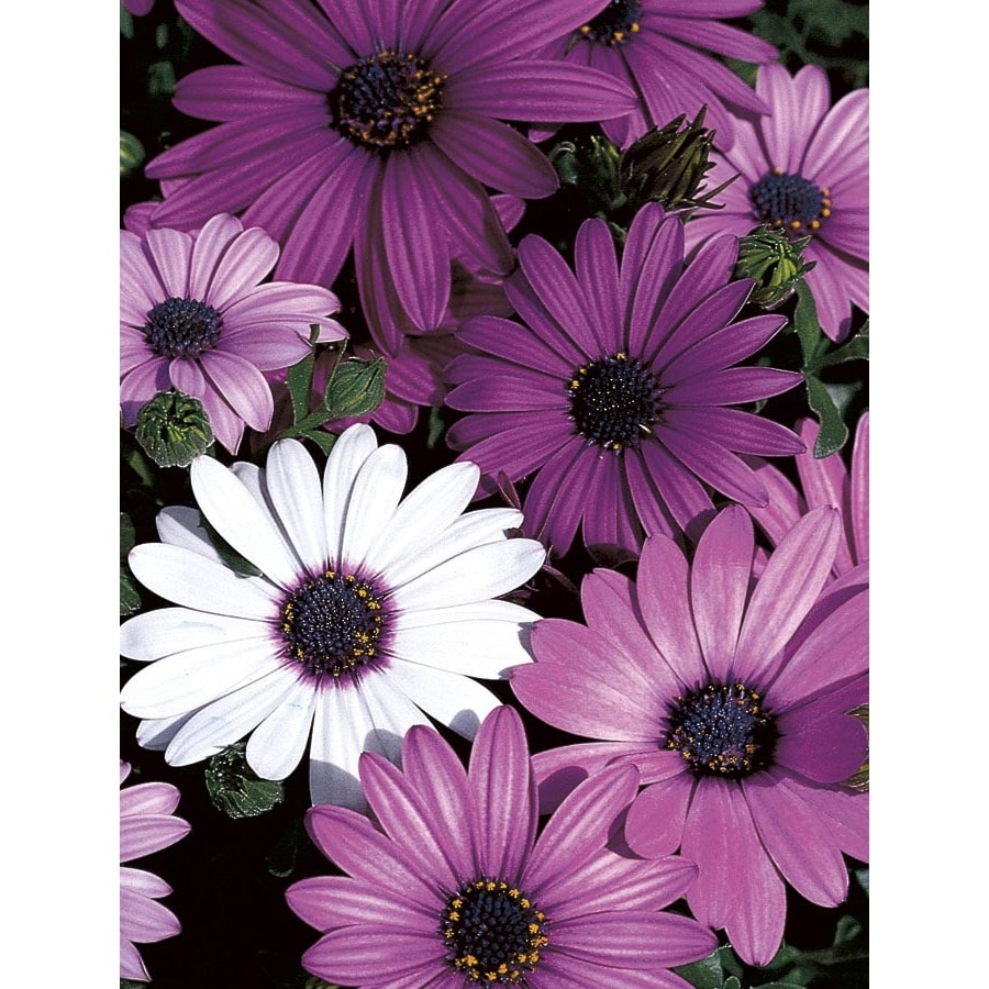 4-Pack African Daisy (L11796)