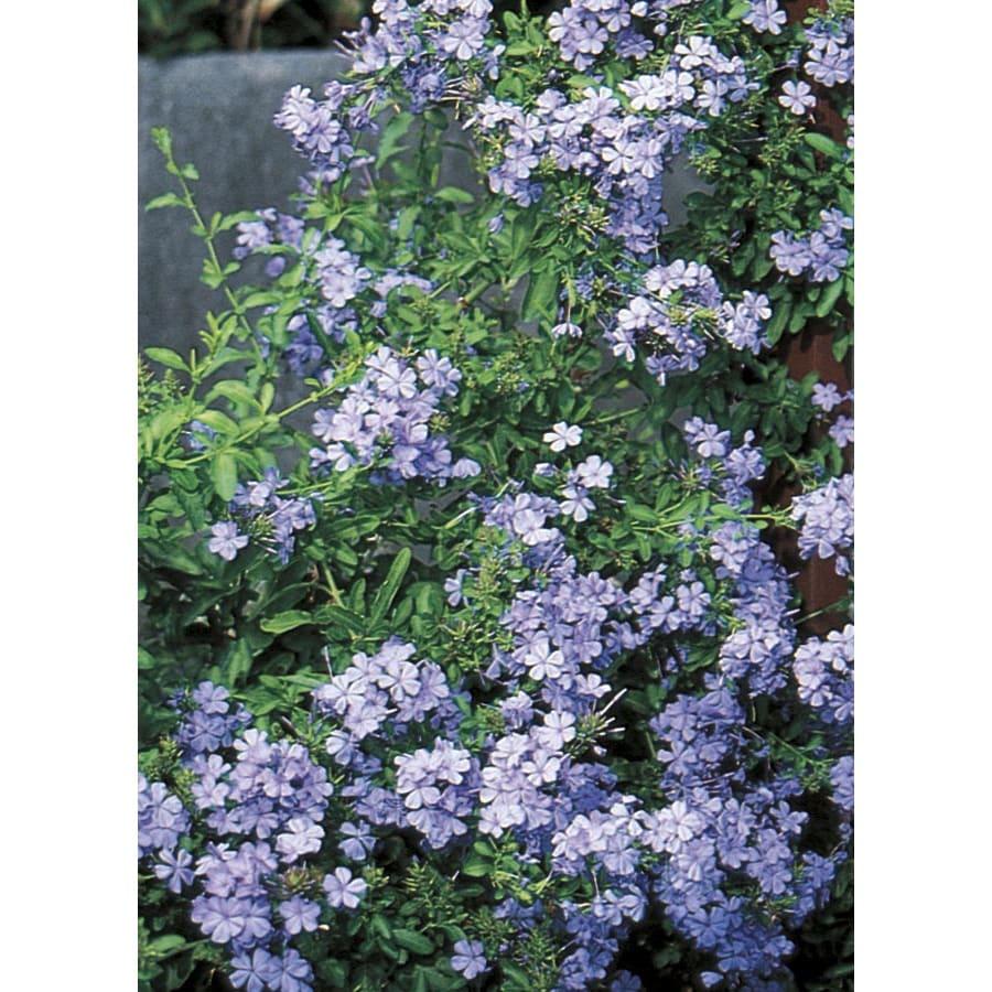 1.75-Gallon Blue Blue Plumbago Flowering Shrub (L3623)