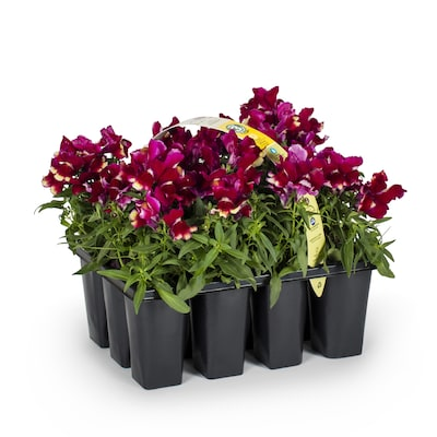 Terrific 12 Pack Multicolor Snapdragon In Tray L3278 At Lowes Com Interior Design Ideas Gentotthenellocom