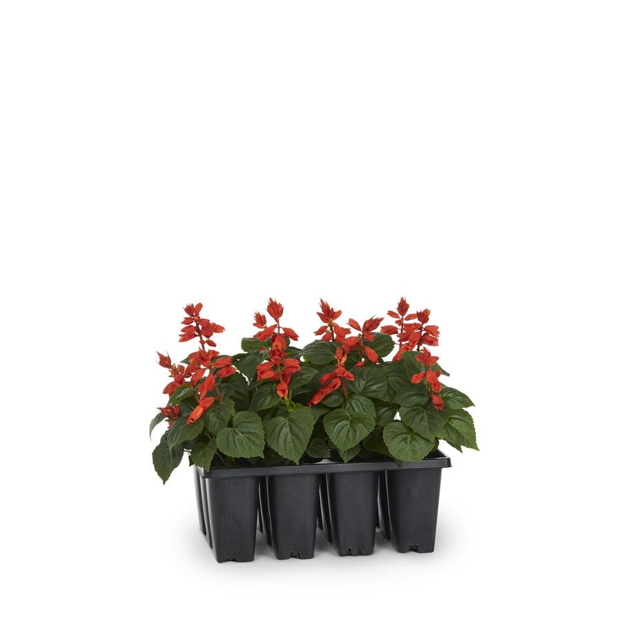12-Pack Salvia (L17608)