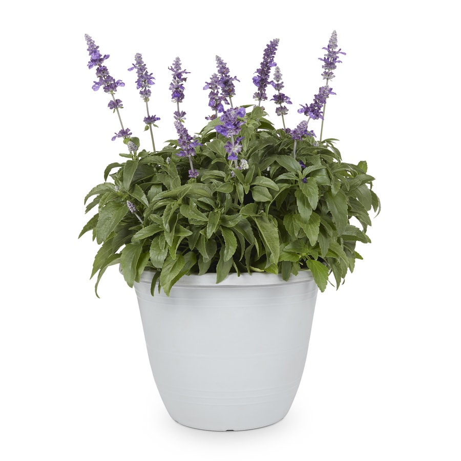 1-Gallon Salvia (L17608)